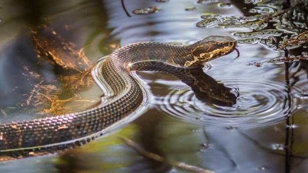 Huracán Florence podría esparcir reptil venenoso por las Carolinas