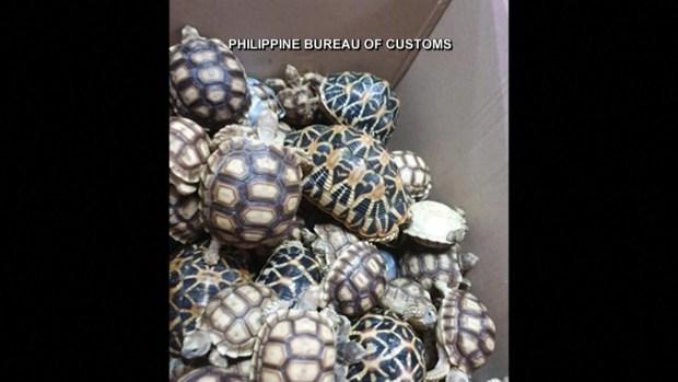 [TLMD - LV] Decomisan maleta con cientos de tortugas vivas