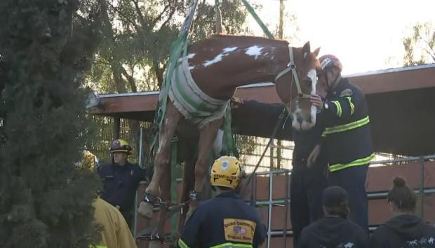 [LA] Rescatan caballo que cayó dentro de un contenedor de basura