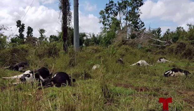 Bajo investigación: se electrocutan 12 vacas en Hatillo