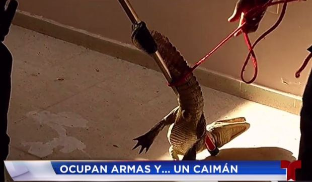 Hallan armas y hasta un caimán durante operativo en Carolina