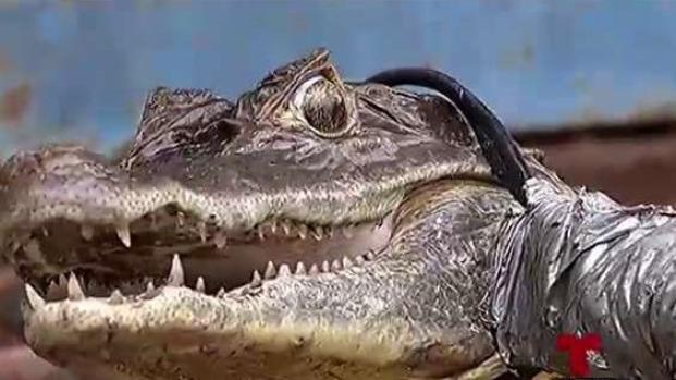 Entre el pescado y el pollo: se comen los caimanes en Vega Baja