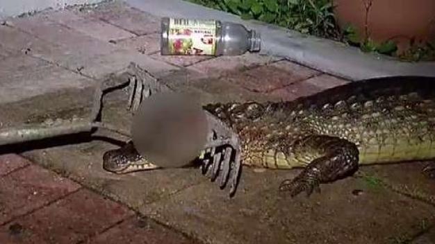Ciudadano agrede a caimán en Vega Alta
