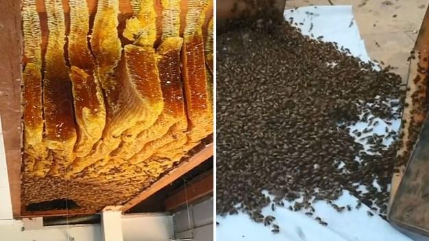 Pesadilla en las paredes: monstruoso panal de abejas