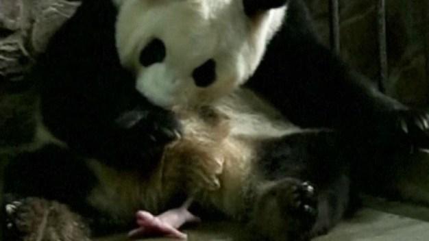 Nacen pandas gigantes gemelos poco desarrollados