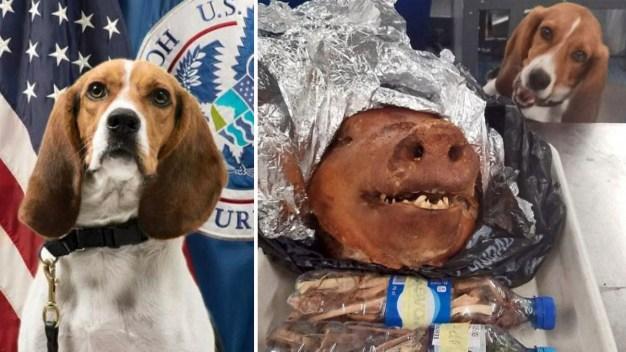 Perro aduanero frustra contrabando de lechón asado