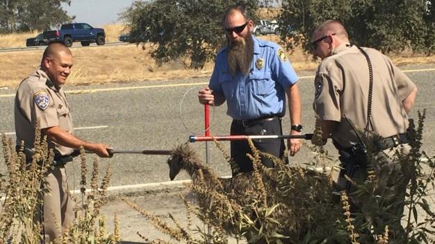 En imágenes: emú suelto desata persecución policial por carretera