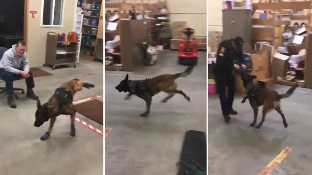 Video: gracioso perro policía estrena botitas de nieve