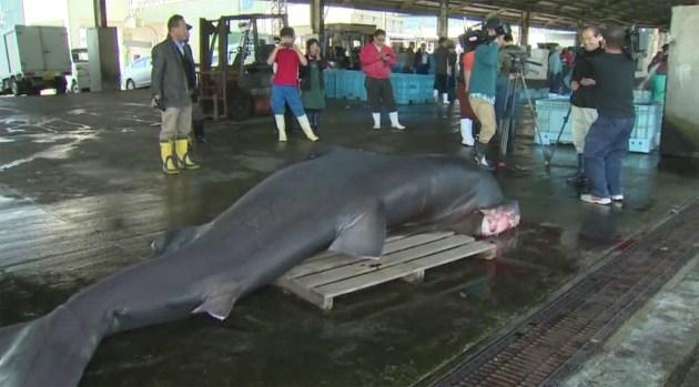 El extraño tiburón boquiancho descubierto en Japón