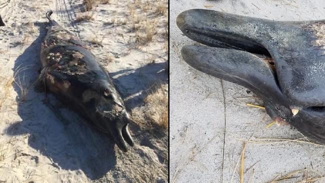 Hallan muerta extraña especie de ballena en NJ