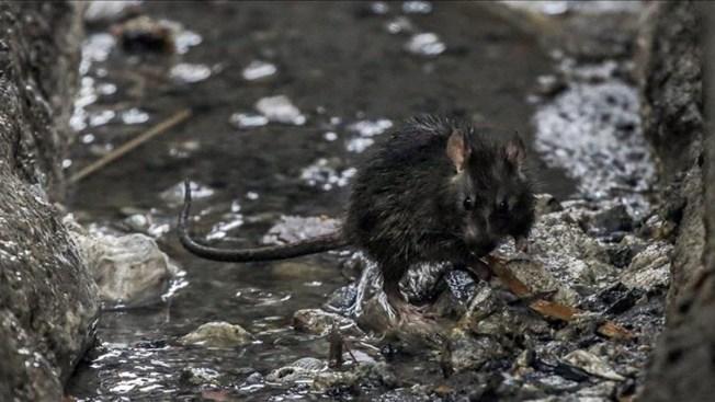 Ratas devoran bebé hasta matarla en México