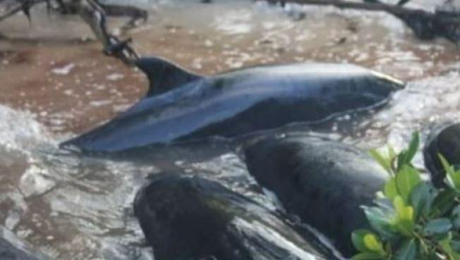 Mueren decenas de falsas orcas en Florida
