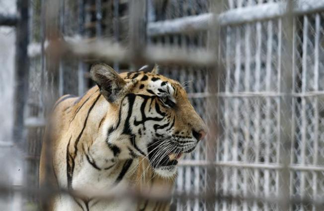 Muere cuidadora de animales al ser atacada por un tigre