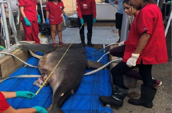 Presencian por primera vez un tiburón marrajo carite en la Isla