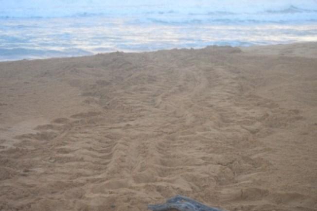 Comienza la llegada de tortugas marinas a las playas