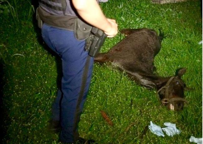 Abandonan caballo moribundo en Carolina