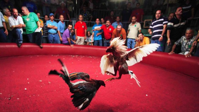 Alcaldes Asociados invitan a defender las peleas de gallos