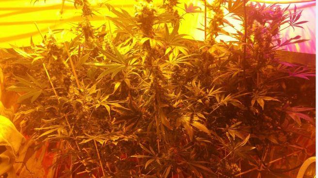 Arrestan a matrimonio con invernadero de marihuana